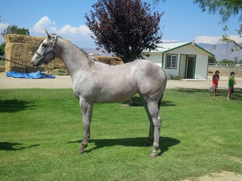Lote 091 GB MISS SANTA ROSA | Silver Racing Farms