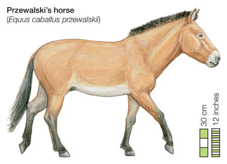 Equus Ferus Przewalski | StallionMexSearch
