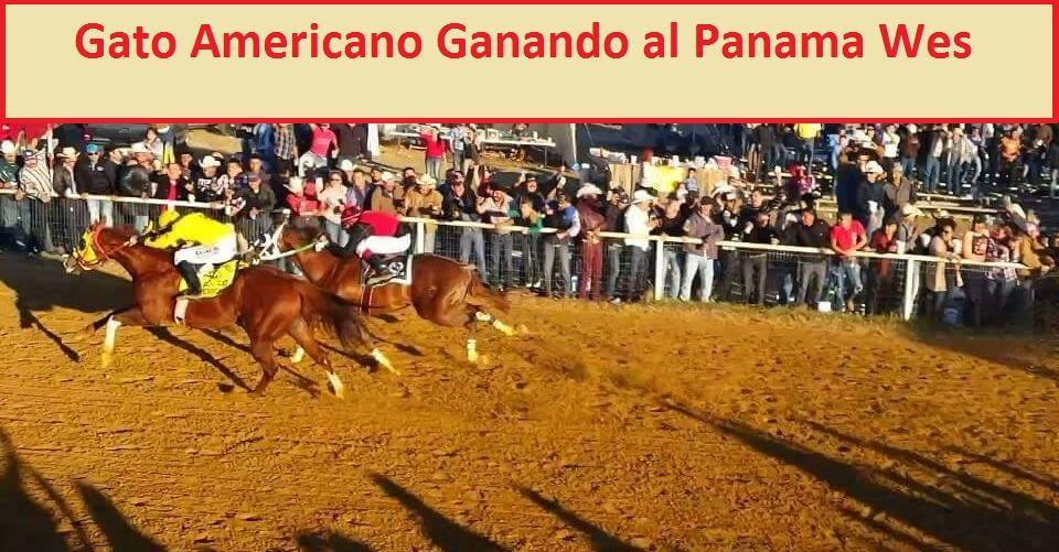 Foto del Gato Americano vs Panama Wes | StallionMexSearch