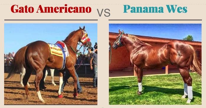 Gato Americano vs Panama Wes | StallionMexSearch