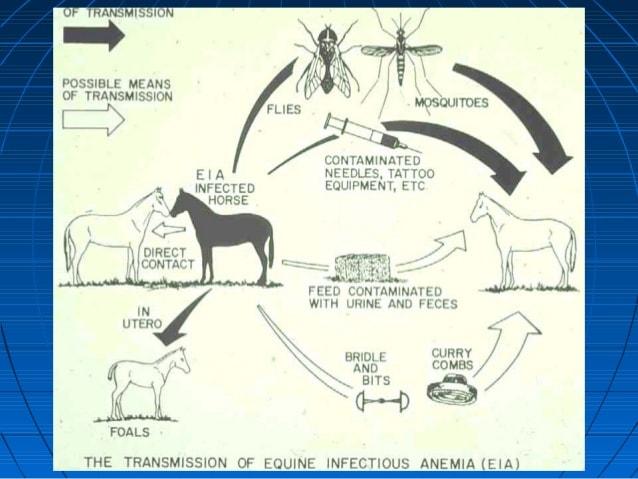 Transmicion de la Anemia Infecciosa Equina