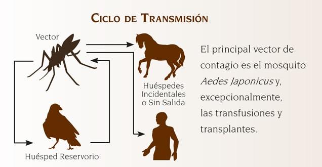 Ciclo de Transmisión de la Anemia Infecciosa Equina
